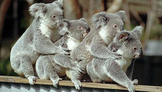 burnyak_koala.jpg
